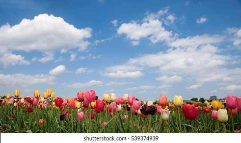 bright tulip field in vivid colors, blue sky with clouds