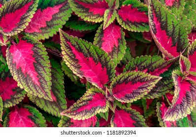 Bright Vibrant Red and Green Coleus Plant