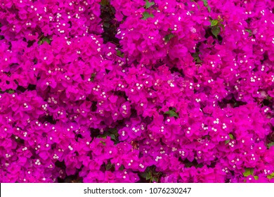 Bright violet bougainvilleas background