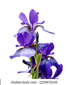 Bright violet iris, Purple Iris Flower isolated on white background.