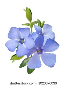 bright violet wild periwinkle flower bouquet isolated on white background