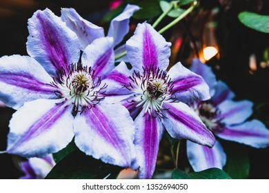 Bright vivid beautiful Clematis in bloom during the summertime