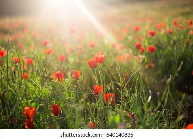 Bright vivid poppy field on a sunset background
