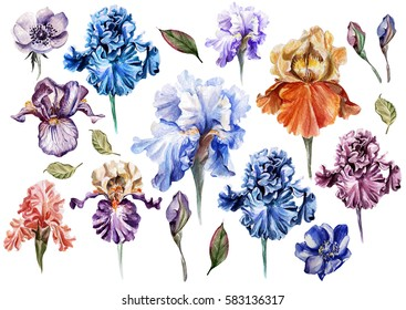 Bright watercolor iris flowers and anemone. Illustration