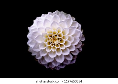 bright wedding bouquet of summer dahlias, Pink, yellow and white fresh dahlia flower macro photo, The beautiful red Dahlia flower, Dahlia Flower beautiful nature close-up, isolated on white