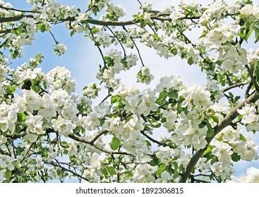 Bright white an apple-tree flower