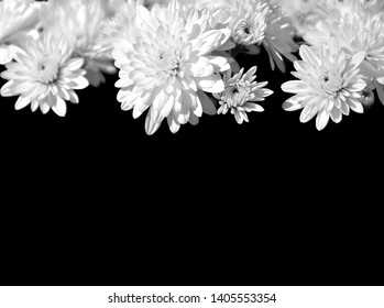 Bright white Chrysanthemum flowers as a header or border over black background