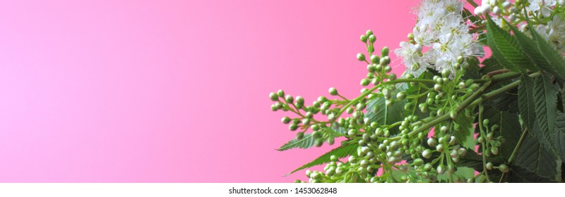 Bright white flowers on a pink background, beautiful thin stamens. Wide banner, place for text, natural colors, high contrast, a card for a holiday or wedding.