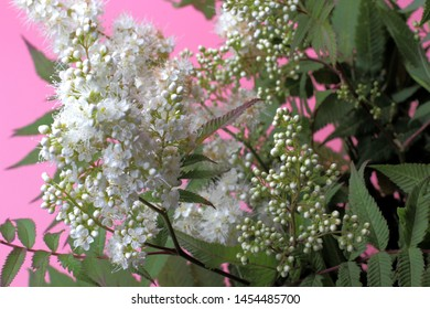 Bright white flowers (Sorbaria sorbifolia) on a pink background, beautiful thin stamens. Natural colors, high contrast, a card for a holiday or wedding.