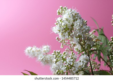 Bright white flowers (Sorbaria sorbifolia) on a pink background, beautiful thin stamens. Place for text, natural colors, high contrast, a card for a holiday or wedding.