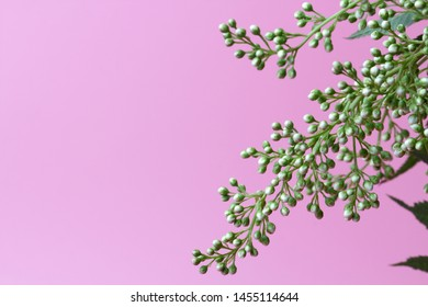 Bright white flowers (Sorbaria sorbifolia) on a pink background, beautiful thin stamens. Place for text, natural colors, high contrast, a card for a holiday or wedding invitation.