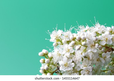 Bright white flowers (Sorbaria sorbifolia) on a green background, beautiful thin stamens. Place for text, natural colors, high contrast, a card for a holiday or wedding invitation.