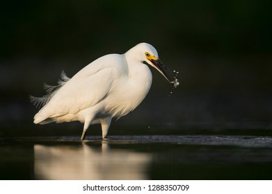 A bright white Snowy Egret catches a small minnow in the golden morning sun with a dark background.