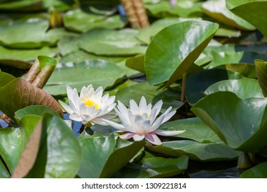 Bright white water lilies growing above green lily pad leaves in a shallow pond.