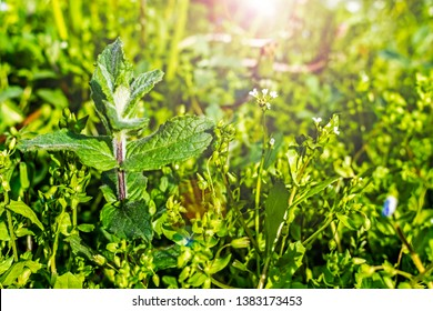 bright wild mint plant grows in the uncultivated countryside field
