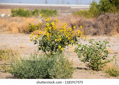 Bright wild sunflowers adorn the dry riverbed of Kern River, Bakersfield, CA.
