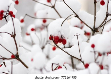 bright winter background with red berries