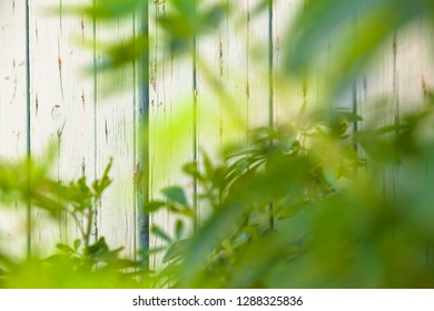 Bright wooden white shabby chic wall of panels background, seen through blurred fresh green leaves in front (copy space)