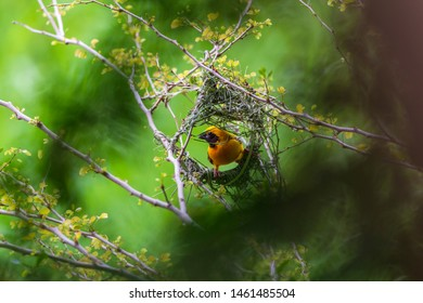 A bright yellow Asian-Weaver bird is building its unique shaped nest in the breeding season in a soft green background in a telephoto view.