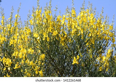 bright yellow broom or ginsestra flower Latin name cytisus scoparius or spachianus close up in spring in Italy blooming an evergreen bush