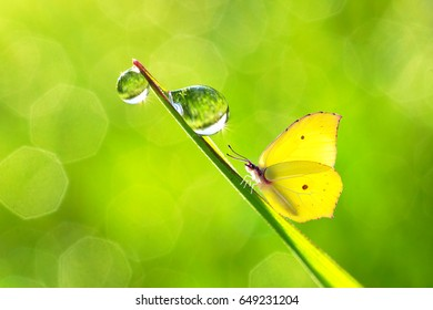 Bright yellow butterfly on a blade of grass with dew drops on a summer morning on a blurry soft green background. Beautiful light airy gentle artistic image of summer and nature.