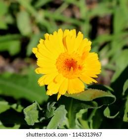 Bright Yellow Calendula in Full Sunlight, Blossom, Close-up