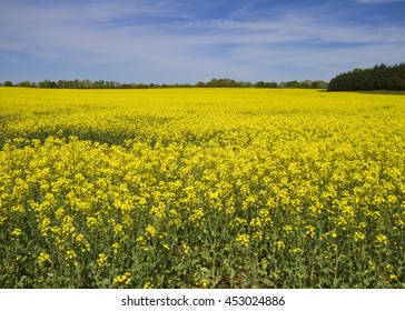 Bright yellow canola crops