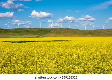 Bright yellow canola field with wind turbines in the background in southern Alberta, Canada