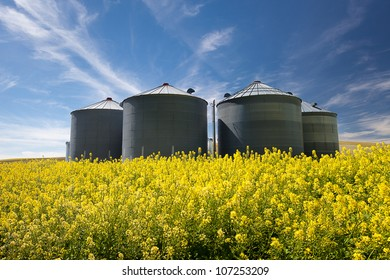 Bright Yellow Canola Fields under Blue Sky