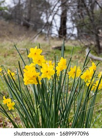 Bright yellow cheerful Easter daffodils blooming in early spring in Julian, California, vertical format