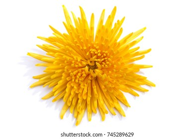 Bright yellow chrysanthemum flower on a white background