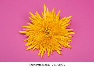 Bright yellow chrysanthemum flower on a pink background