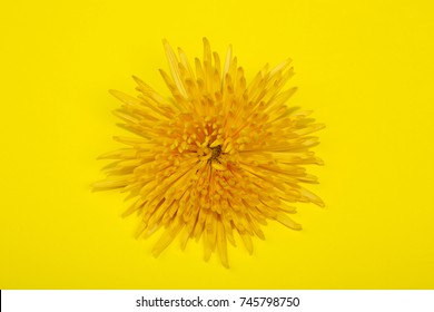 Bright yellow chrysanthemum flower on a yellow background