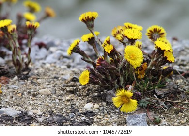Bright yellow coltsfoot (tussilago farfara)  on stony floor.  Group of spring flowers.