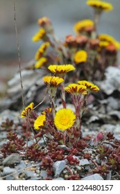 Bright yellow coltsfoots. Group of flowers on crushed rock floor. Springtime in germany.