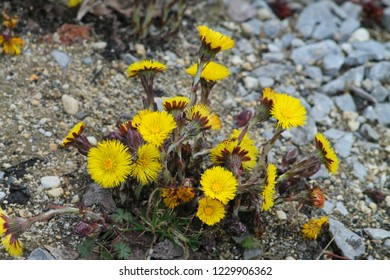 Bright yellow coltsfoots on crushed rock floor. Springtime in germany.