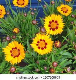 Bright yellow Coreopsis Sunkiss flowers with red detailson the petals, in bloom during autumn