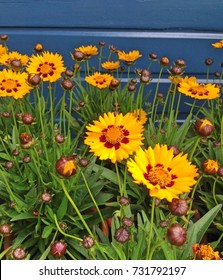 Bright yellow Coreopsis Sunkiss flowers in bloom during autumn