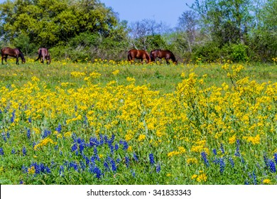 Bright Yellow Cut Leaf Groundsel (Packera tampicana), White Poppies, and a Few Bluebonnet (Lupinus texensis) Wildflowers in a Texas Pasture with Brown Horses Grazing.