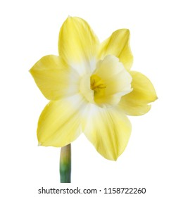 Bright yellow daffodil flower isolated on white background.