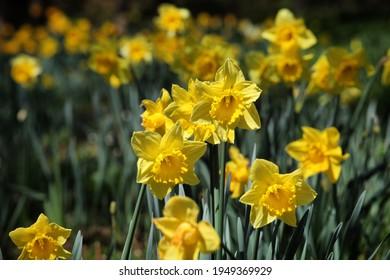 Bright yellow daffodils 'Dutch Master'  in flower a sunny day