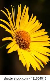 Bright yellow daisy flower isolated on dark background