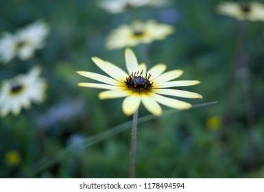 Bright yellow daisy macro