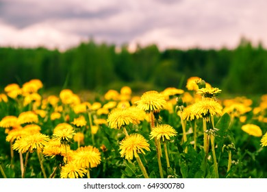 Bright yellow dandelion flowers in the field. Spring background.
