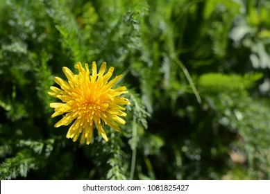 Bright yellow dandelion growing among lush green weeds and grass - with copy space