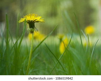 Bright Yellow Dandelions in the Grass
