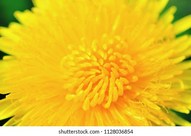 Bright yellow dandellion flowers with green leaves