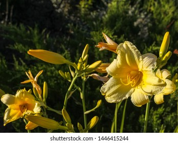 A bright yellow daylily (Hemerocallis) in the close-up garden on a natural background. Horticulture, floriculture, greenery