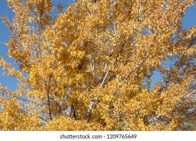 Bright yellow fall tree leaves.