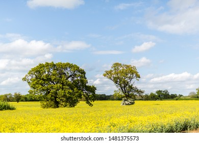 A bright yellow field of in bloom Rapeseed oil. A very common crop found throughout the Suffolk countryside
